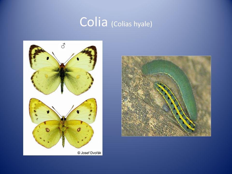 Colia (Colias hyale)