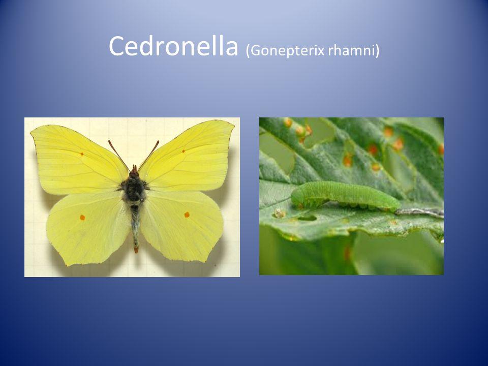 Cedronella (Gonepterix rhamni)