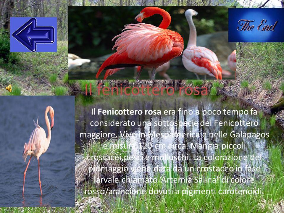 Il fenicottero rosa Il Fenicottero rosa era fino a poco tempo fa considerato una sottospecie del Fenicottero maggiore. Vive in Mesoamerica e nelle Gal