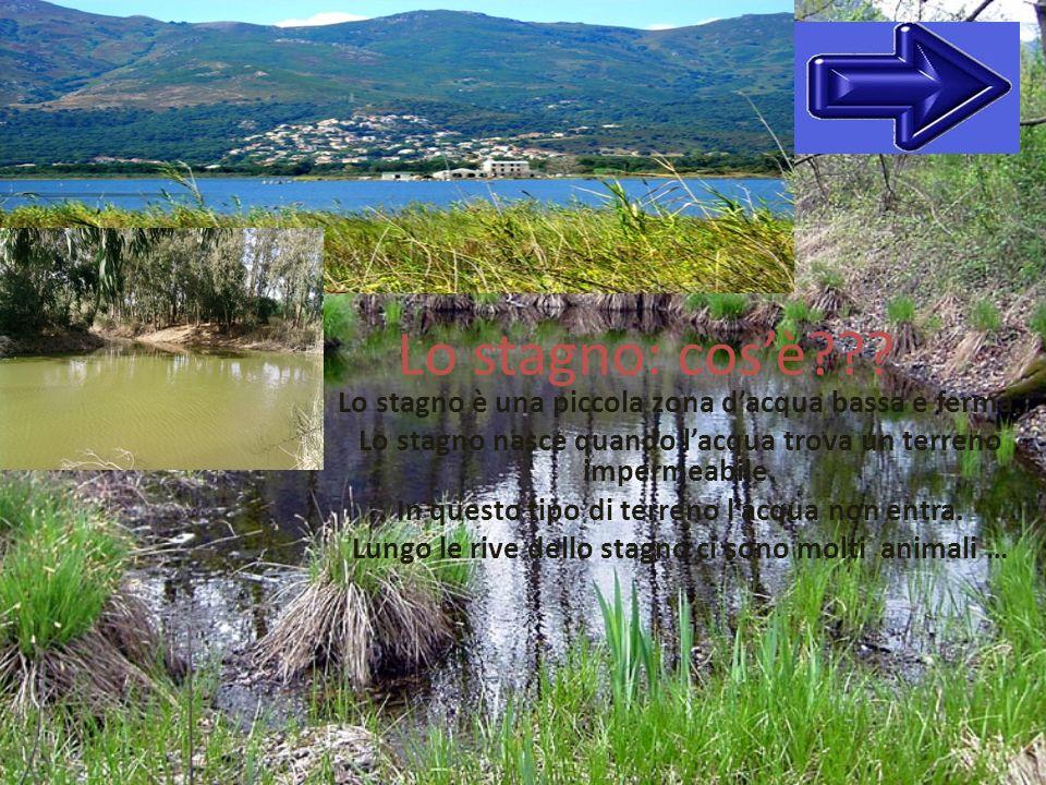 Lo stagno: cosè??? Lo stagno è una piccola zona dacqua bassa e ferma. Lo stagno nasce quando lacqua trova un terreno impermeabile. In questo tipo di t