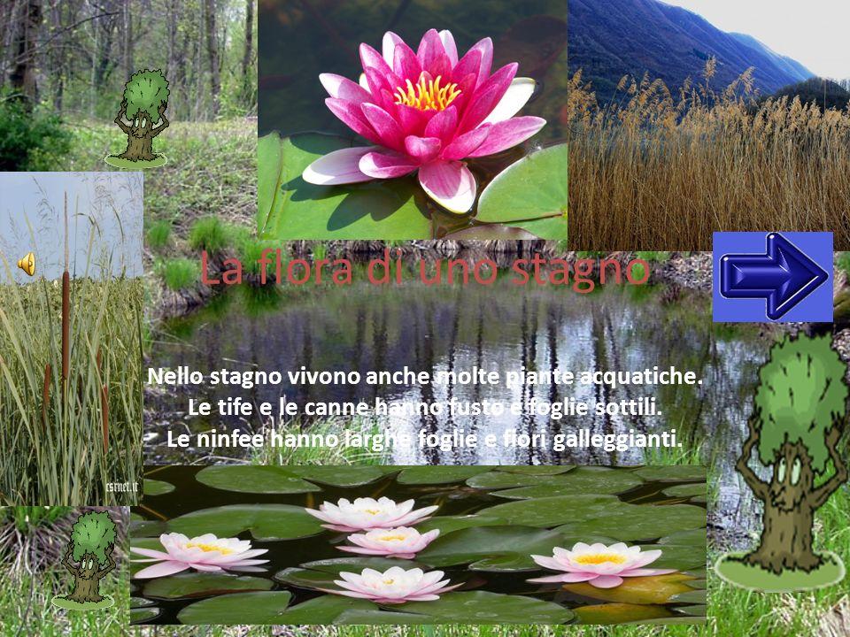La flora di uno stagno Nello stagno vivono anche molte piante acquatiche. Le tife e le canne hanno fusto e foglie sottili. Le ninfee hanno larghe fogl