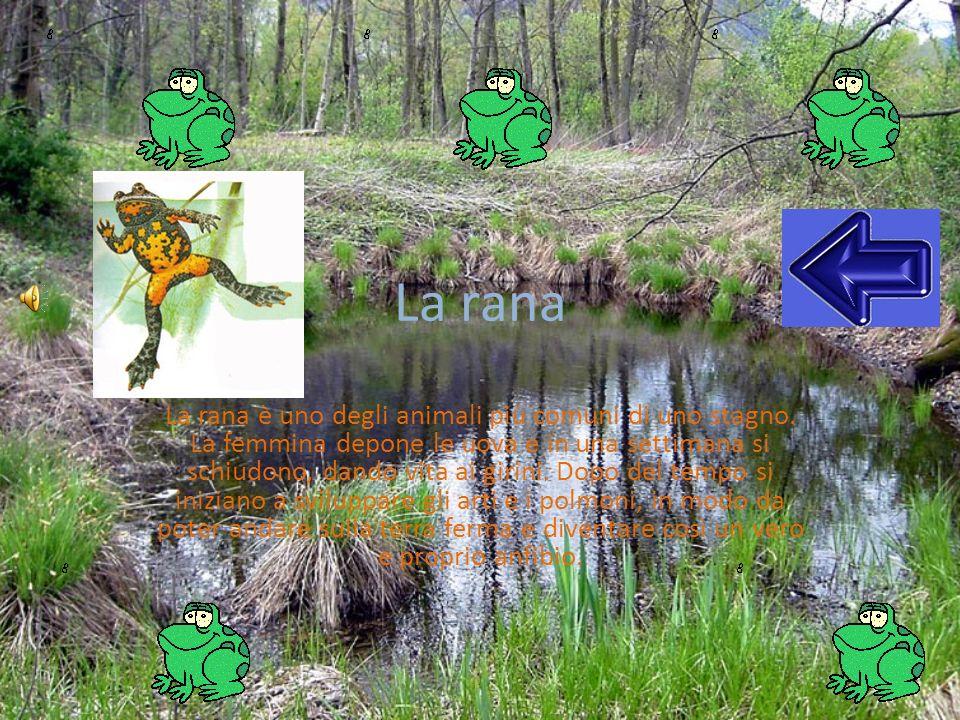La rana La rana è uno degli animali più comuni di uno stagno. La femmina depone le uova e in una settimana si schiudono, dando vita ai girini. Dopo de