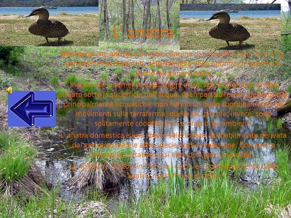 L anatra Anatra (anche anitra) è il nome comune di parecchi uccelli acquatici, generalmente migratori, della famiglia degli Anatidi e in particolar mo