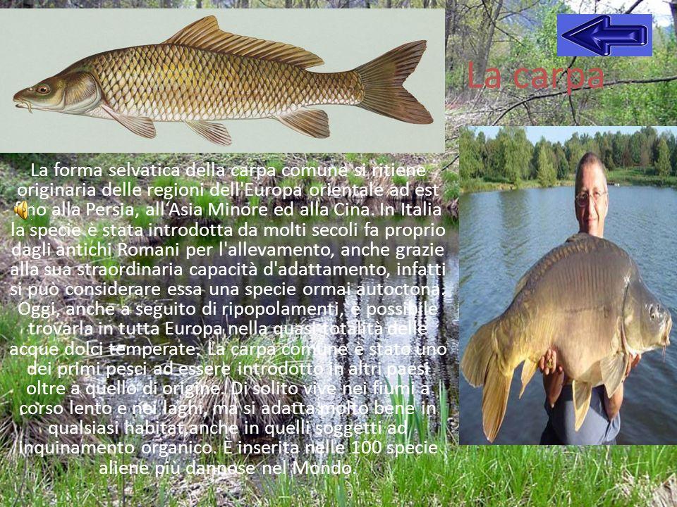 La carpa La forma selvatica della carpa comune si ritiene originaria delle regioni dell'Europa orientale ad est fino alla Persia, allAsia Minore ed al