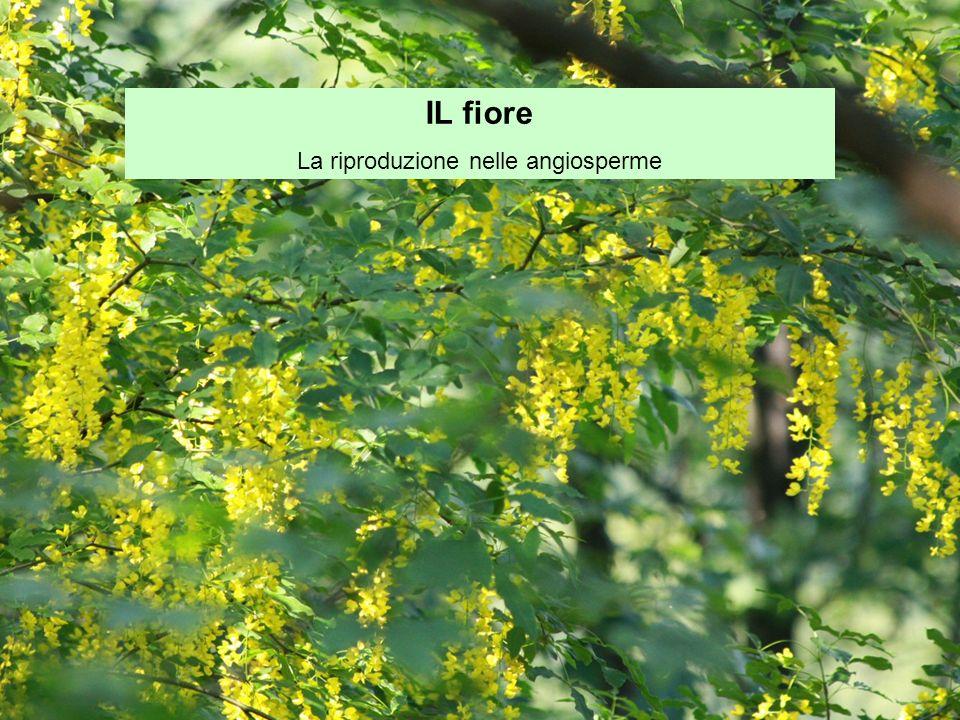 IL fiore La riproduzione nelle angiosperme