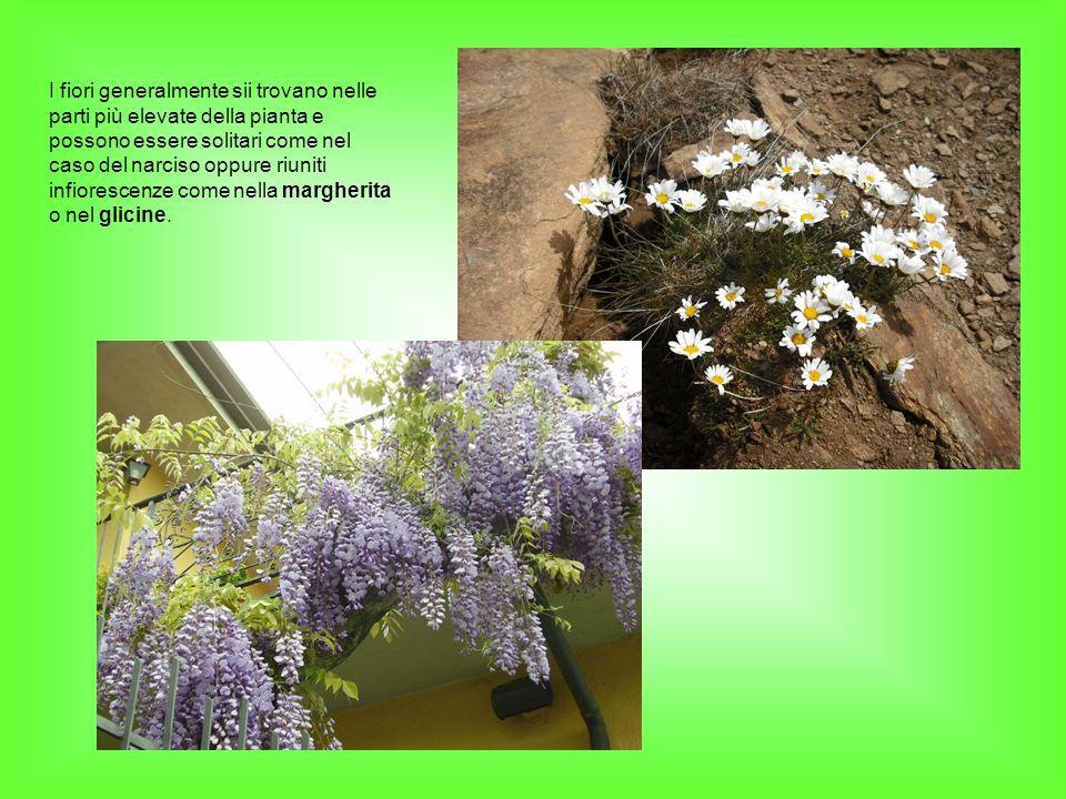 I fiori generalmente sii trovano nelle parti più elevate della pianta e possono essere solitari come nel caso del narciso oppure riuniti infiorescenze