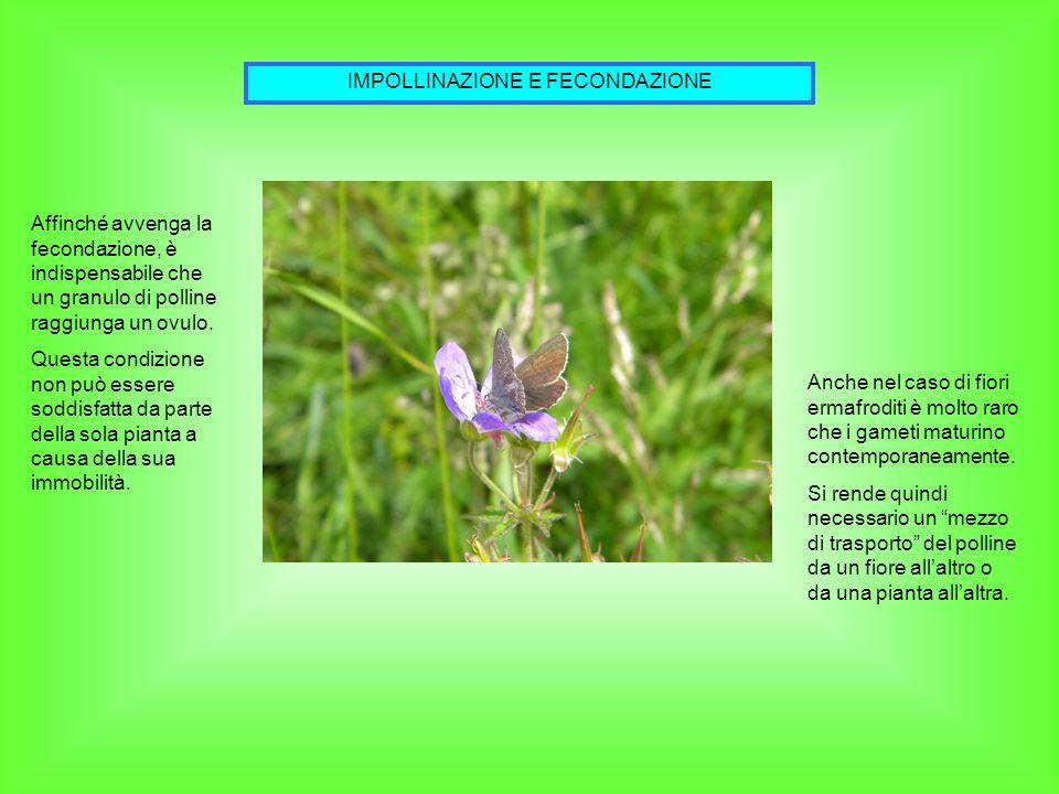 IMPOLLINAZIONE E FECONDAZIONE Affinché avvenga la fecondazione, è indispensabile che un granulo di polline raggiunga un ovulo. Questa condizione non p
