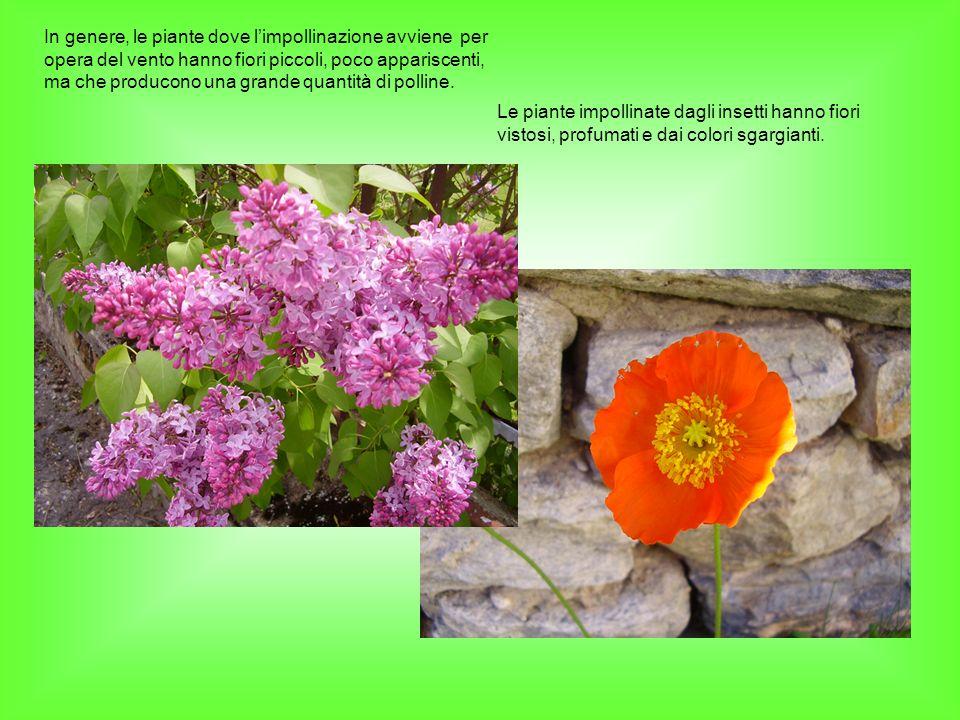 In genere, le piante dove limpollinazione avviene per opera del vento hanno fiori piccoli, poco appariscenti, ma che producono una grande quantità di