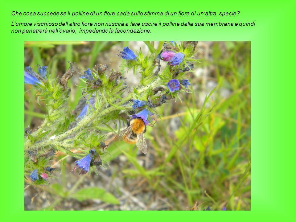 Che cosa succede se il polline di un fiore cade sullo stimma di un fiore di unaltra specie? Lumore vischioso dellaltro fiore non riuscirà a fare uscir