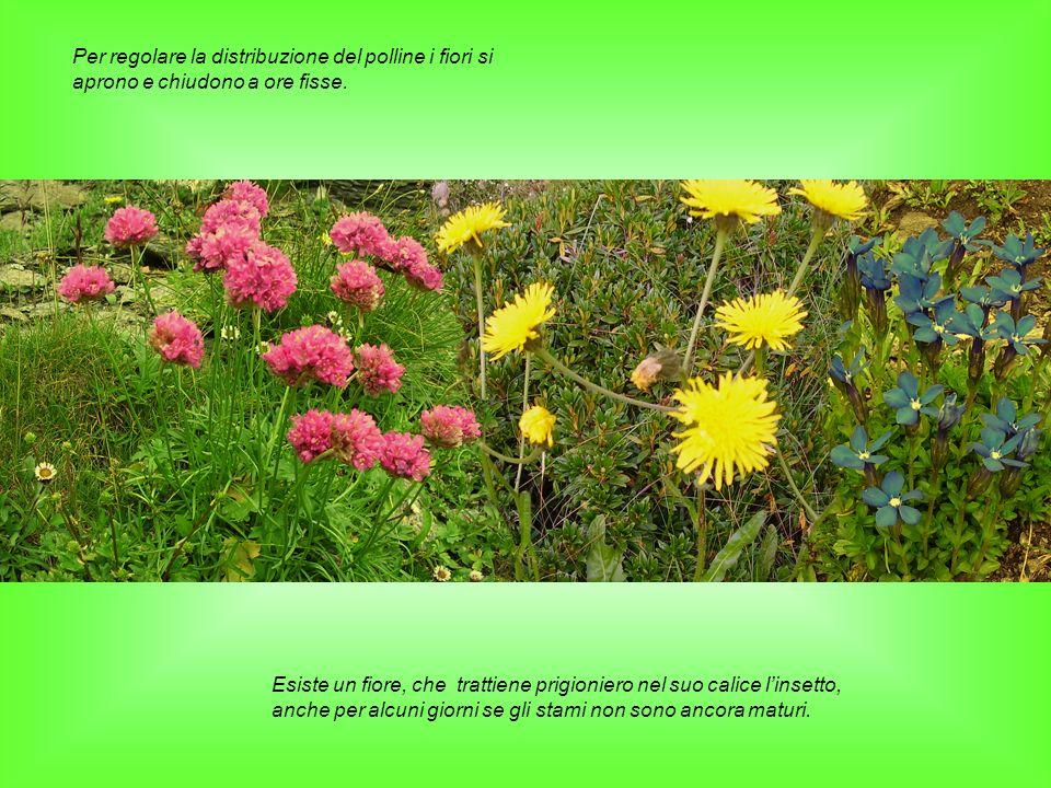 Per regolare la distribuzione del polline i fiori si aprono e chiudono a ore fisse. Esiste un fiore, che trattiene prigioniero nel suo calice linsetto