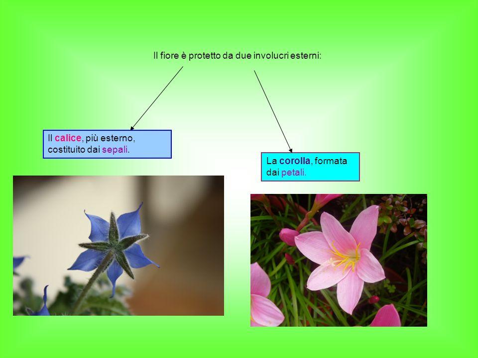 Il fiore è protetto da due involucri esterni: Il calice, più esterno, costituito dai sepali. La corolla, formata dai petali.