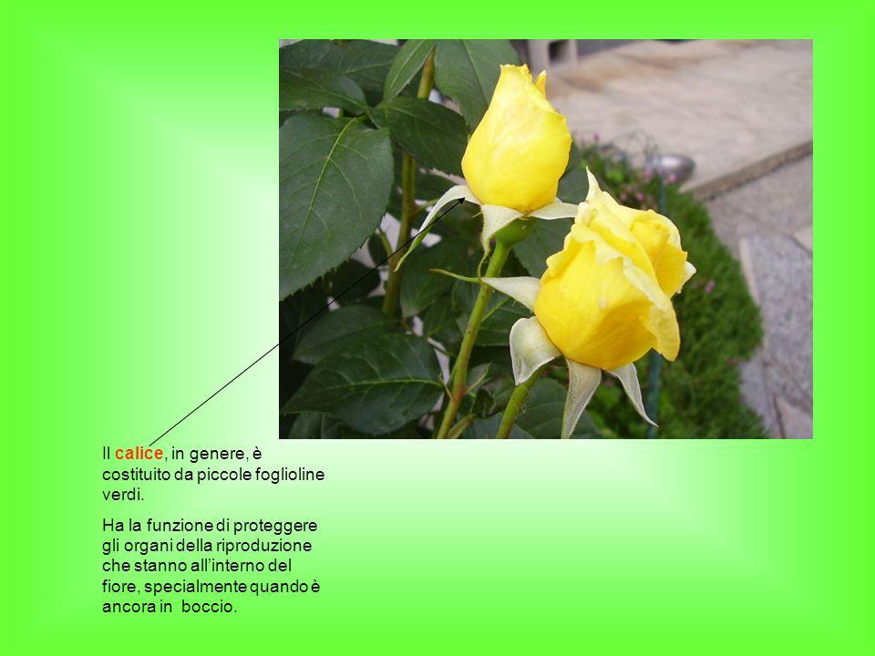 Il calice, in genere, è costituito da piccole foglioline verdi. Ha la funzione di proteggere gli organi della riproduzione che stanno allinterno del f
