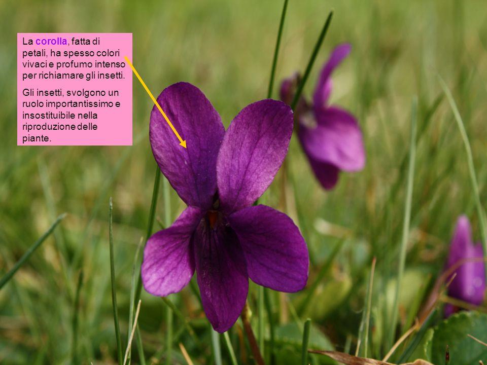 La corolla, fatta di petali, ha spesso colori vivaci e profumo intenso per richiamare gli insetti. Gli insetti, svolgono un ruolo importantissimo e in