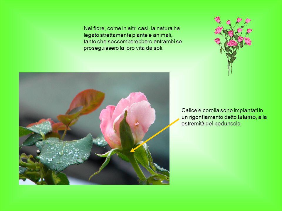 Nel fiore, come in altri casi, la natura ha legato strettamente piante e animali, tanto che soccomberebbero entrambi se proseguissero la loro vita da