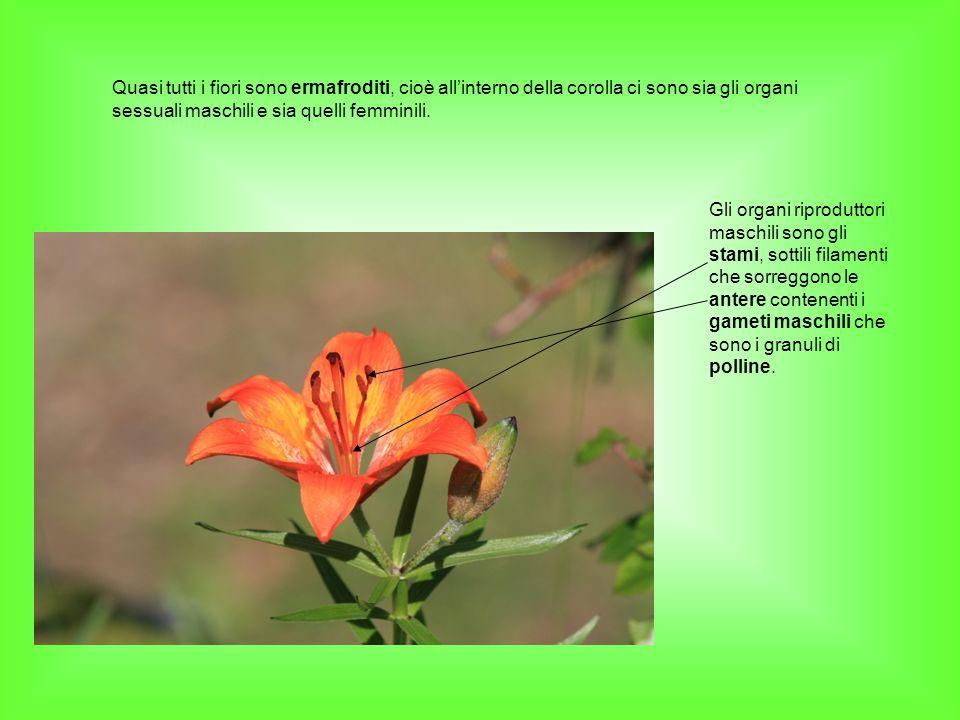 Quasi tutti i fiori sono ermafroditi, cioè allinterno della corolla ci sono sia gli organi sessuali maschili e sia quelli femminili. Gli organi riprod