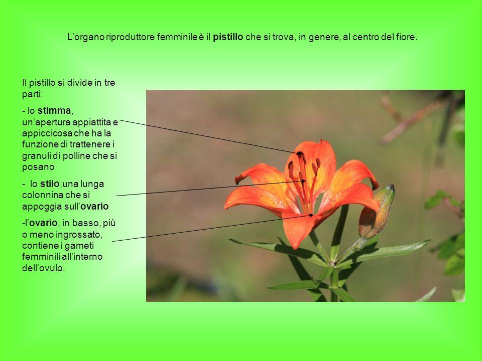 Lorgano riproduttore femminile è il pistillo che si trova, in genere, al centro del fiore. Il pistillo si divide in tre parti: - lo stimma, unapertura
