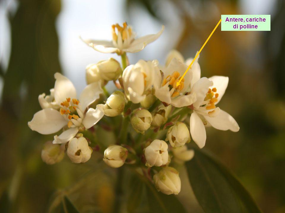 Antere, cariche di polline