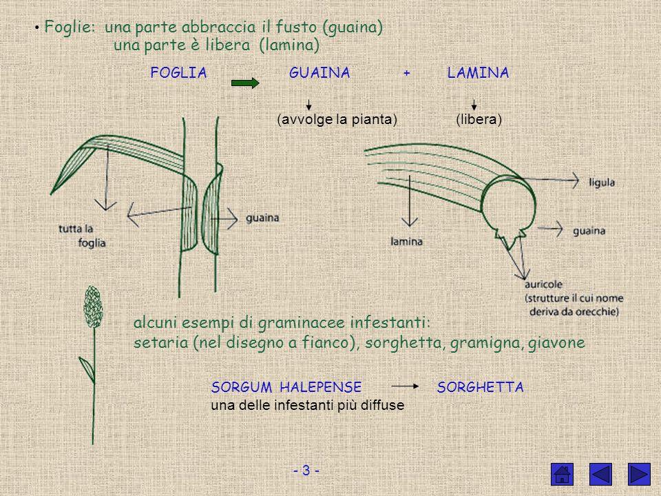 Il frutto delle graminacee si chiama CARIOSSIDE I fiori sono riuniti in infiorescenze Infiorescenza a spiga Infiorescenza a pannocchia es.: infioresce