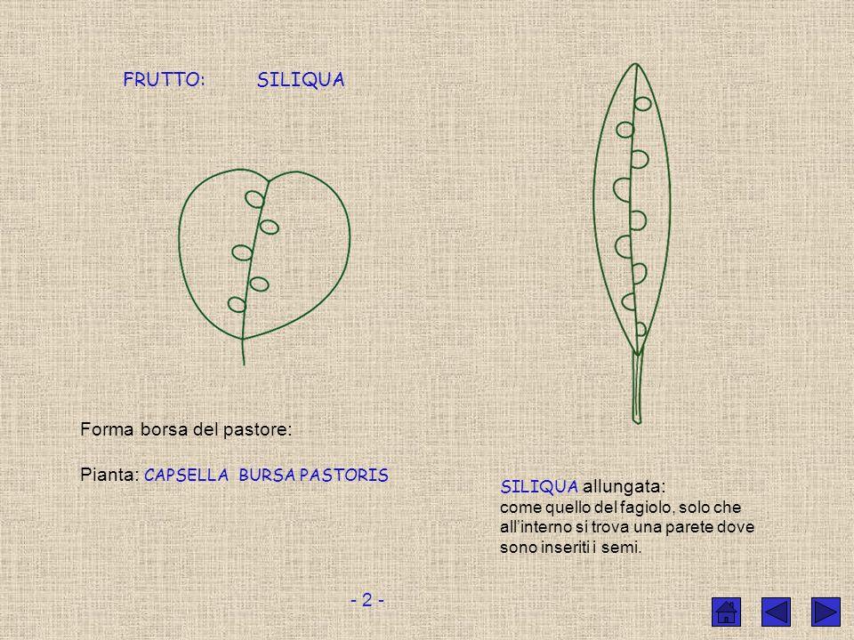 Il fiore è a forma di croce Fiori singoli costituiti da:. 4 sepali. 4 petali RACEMO infiorescenza assomigliante ad un grappolo Lo sviluppo della piant