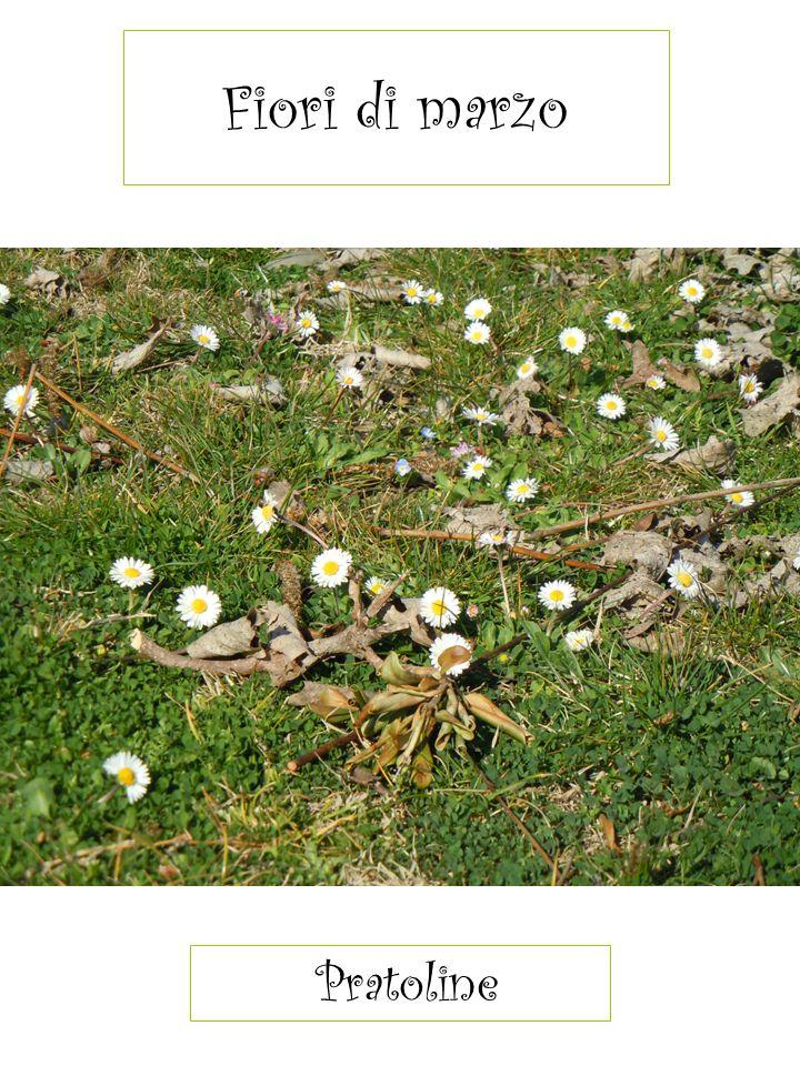 Fiori di marzo Pratoline