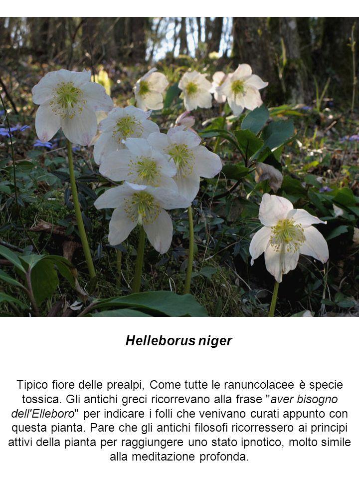 Helleborus niger Tipico fiore delle prealpi, Come tutte le ranuncolacee è specie tossica. Gli antichi greci ricorrevano alla frase