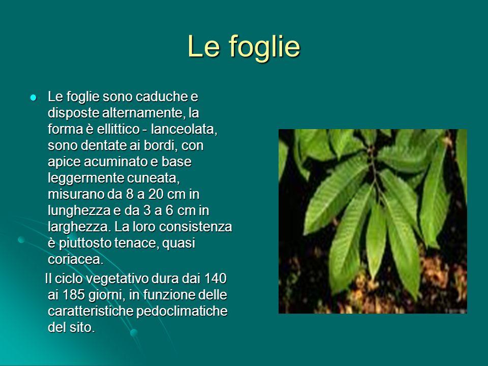 I fiori Il castagno, ha infiorescenze (amenti) formati da fiori unisessuali, monoici e poligami, portati sulla vegetazione dellanno che, quindi, si evolvono solo a foliazione completa; i fiori staminiferi o maschili sono portati in infiorescenze lunghe da 10 a 20 cm; i fiori pistilliferi o femminili, meno numerosi, solitari o aggregati in numero di 2-3 fino a 7, sono localizzati alla base delle infiorescenze staminifere e sono protetti da un involucro verde, squamoso, destinato a costituire la cupola, comunemente detta riccio, dapprima verde, quindi giallo-marrone a maturità.