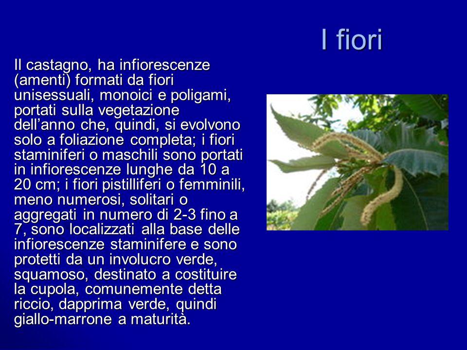 I fiori Il castagno, ha infiorescenze (amenti) formati da fiori unisessuali, monoici e poligami, portati sulla vegetazione dellanno che, quindi, si ev