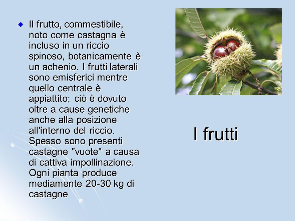 I frutti Il frutto, commestibile, noto come castagna è incluso in un riccio spinoso, botanicamente è un achenio. I frutti laterali sono emisferici men