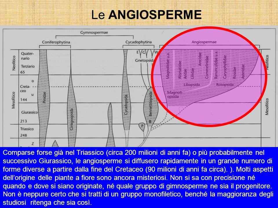 Le ANGIOSPERME Comparse forse già nel Triassico (circa 200 milioni di anni fa) o più probabilmente nel successivo Giurassico, le angiosperme si diffus