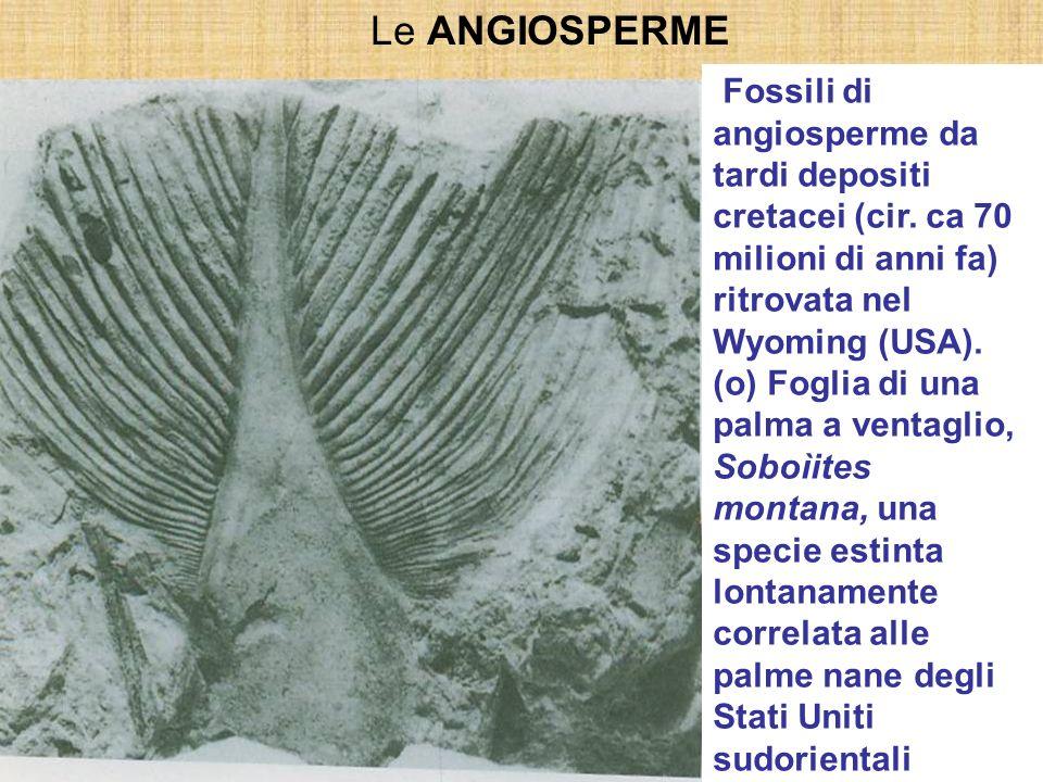 Le ANGIOSPERME Le tre caratteristiche che definiscono le angiosperme: 1.ovuli racchiusi entro un carpello; 2.doppia fecondazione; 3.presenza di fiori;