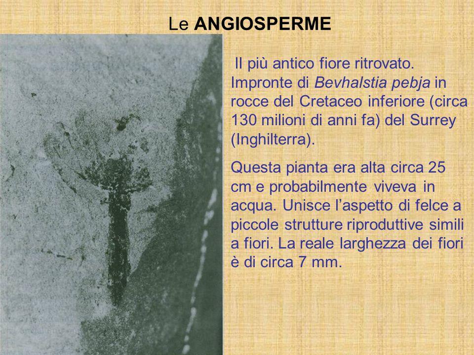 Le ANGIOSPERME lI più antico fiore ritrovato. Impronte di Bevhalstia pebja in rocce del Cretaceo inferiore (circa 130 milioni di anni fa) del Surrey (