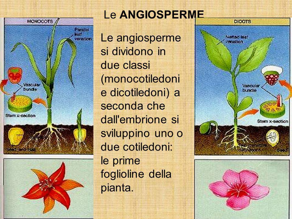 Le angiosperme si dividono in due classi (monocotiledoni e dicotiledoni) a seconda che dall'embrione si sviluppino uno o due cotiledoni: le prime fogl