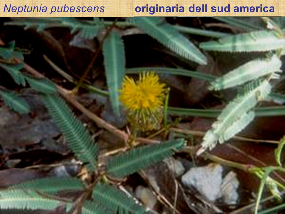 Formazione del fiore In questa leguminosa il fiore è perfetto, presenta simmetria radiale e le parti fiorali sono disposte ìn verticilli. (a) Lapice d