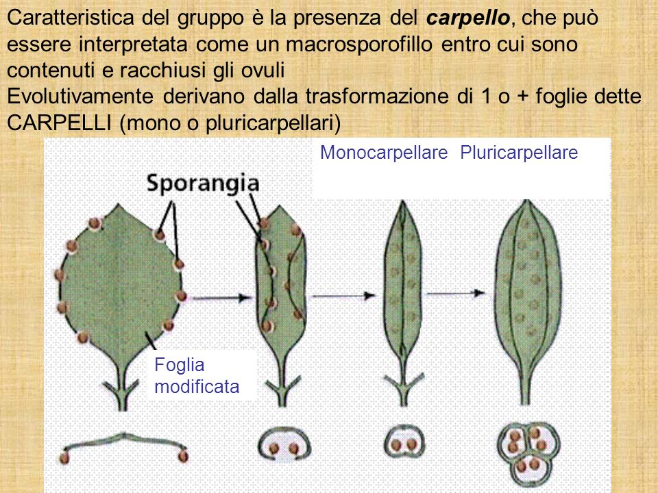 Caratteristica del gruppo è la presenza del carpello, che può essere interpretata come un macrosporofillo entro cui sono contenuti e racchiusi gli ovu