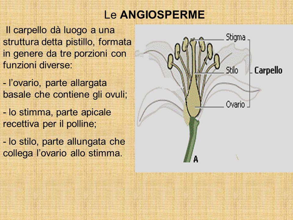Le ANGIOSPERME Il carpello dà luogo a una struttura detta pistillo, formata in genere da tre porzioni con funzioni diverse: - lovario, parte allargata