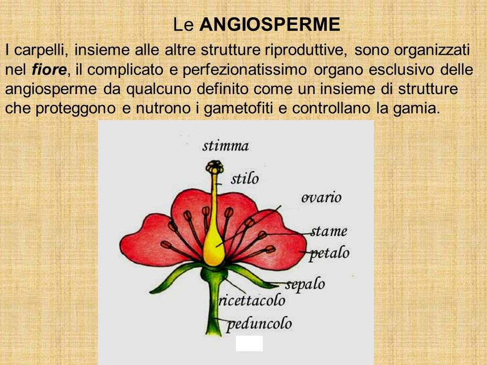 I carpelli, insieme alle altre strutture riproduttive, sono organizzati nel fiore, il complicato e perfezionatissimo organo esclusivo delle angiosperm
