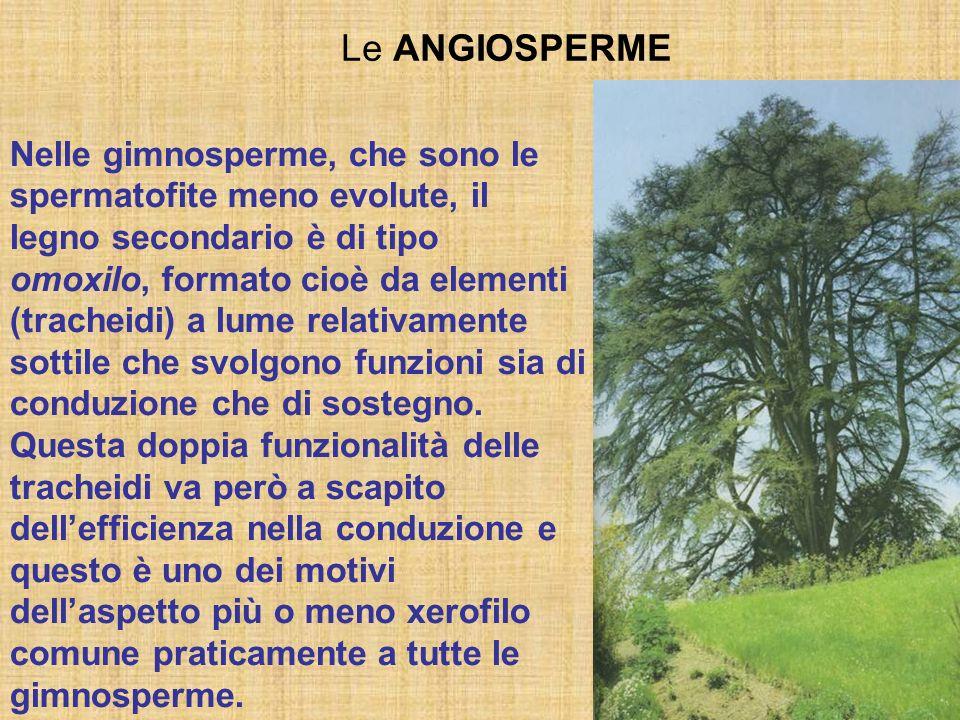Le ANGIOSPERME Nelle gimnosperme, che sono le spermatofite meno evolute, il legno secondario è di tipo omoxilo, formato cioè da elementi (tracheidi) a