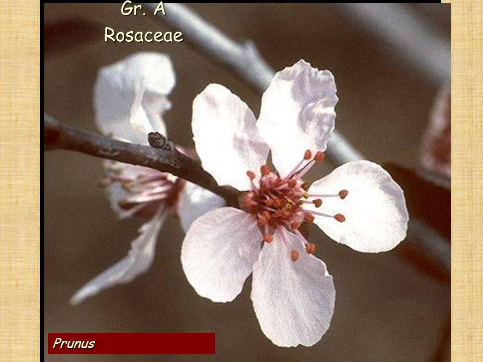 Le ANGIOSPERME Prunus Gr. A Rosaceae