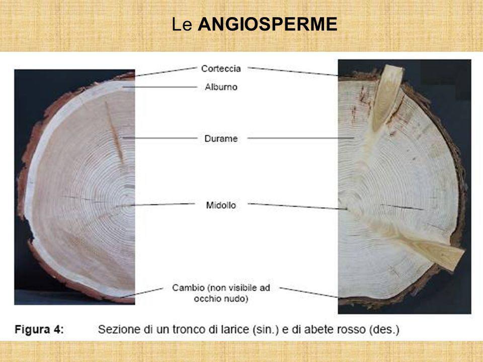 Le ANGIOSPERME Molto più efficiente e versatile si rivelerà il legno eteroxilo delle angiosperme, dove i compiti di conduzione e di sostegno sono dist