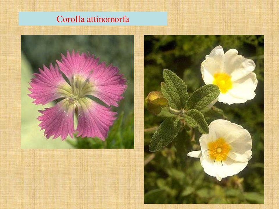Corolla attinomorfa