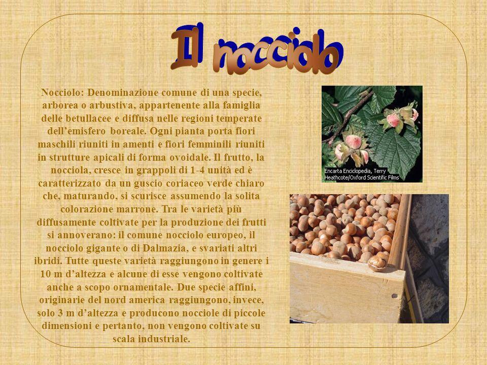 Nocciolo: Denominazione comune di una specie, arborea o arbustiva, appartenente alla famiglia delle betullacee e diffusa nelle regioni temperate delle
