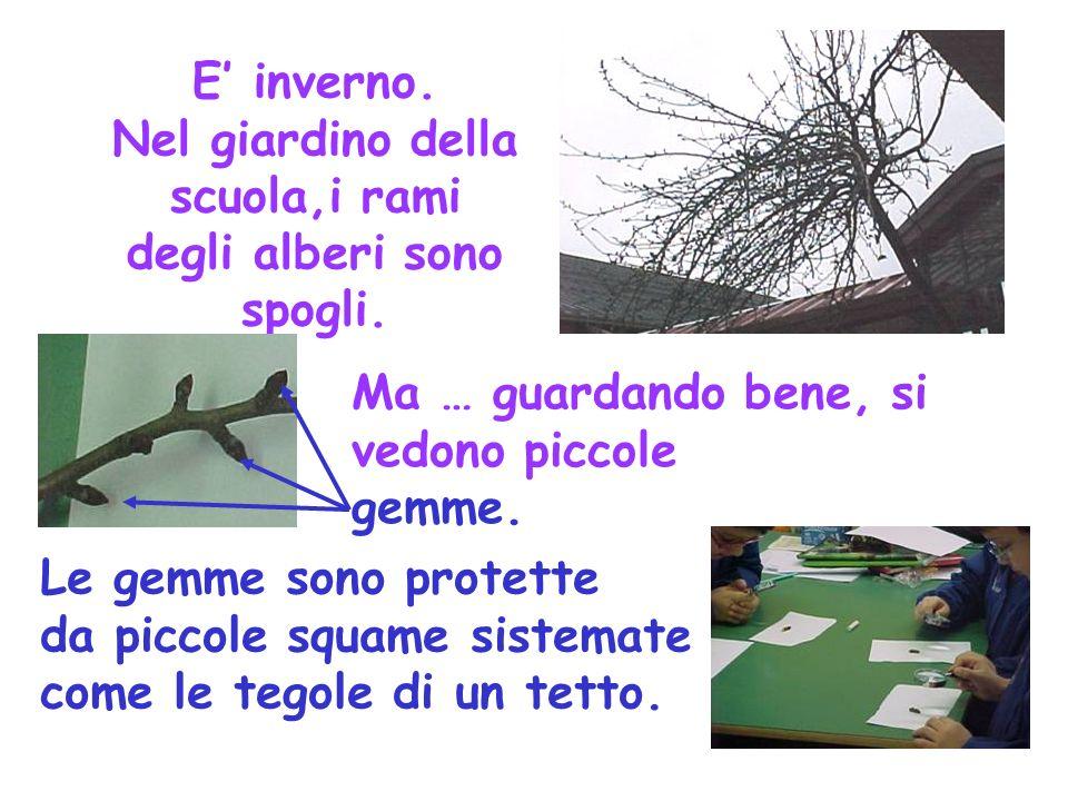 E inverno. Nel giardino della scuola,i rami degli alberi sono spogli. Ma … guardando bene, si vedono piccole gemme. Le gemme sono protette da piccole