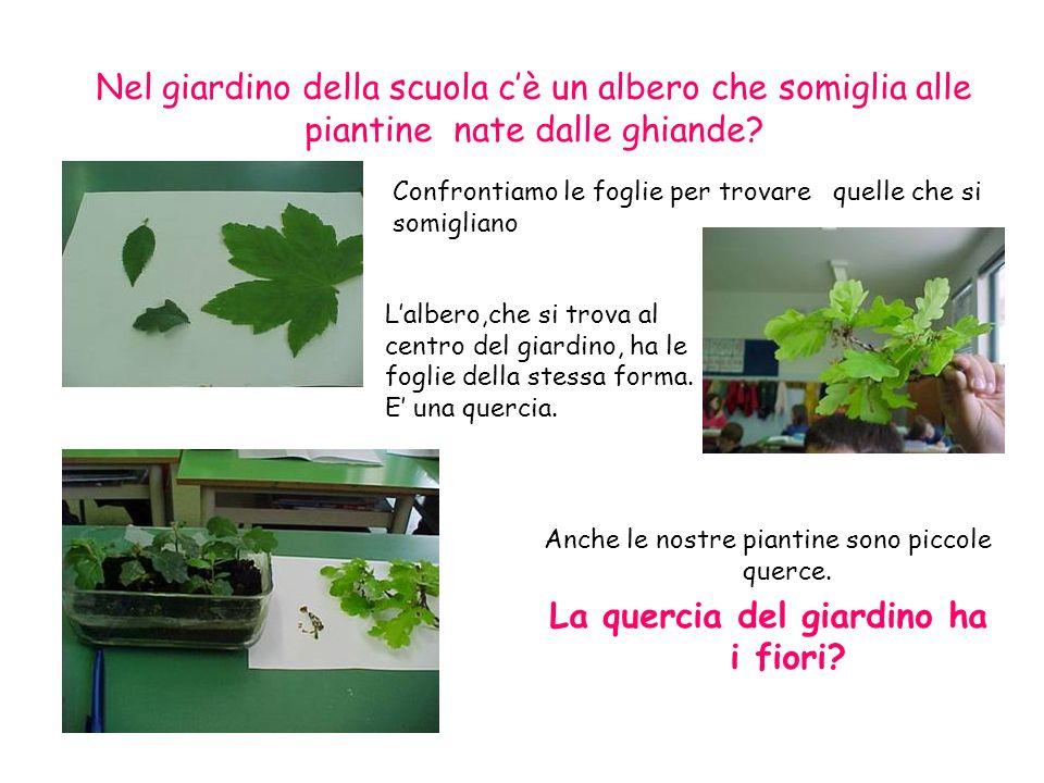 Nel giardino della scuola cè un albero che somiglia alle piantine nate dalle ghiande? Confrontiamo le foglie per trovare quelle che si somigliano Lalb