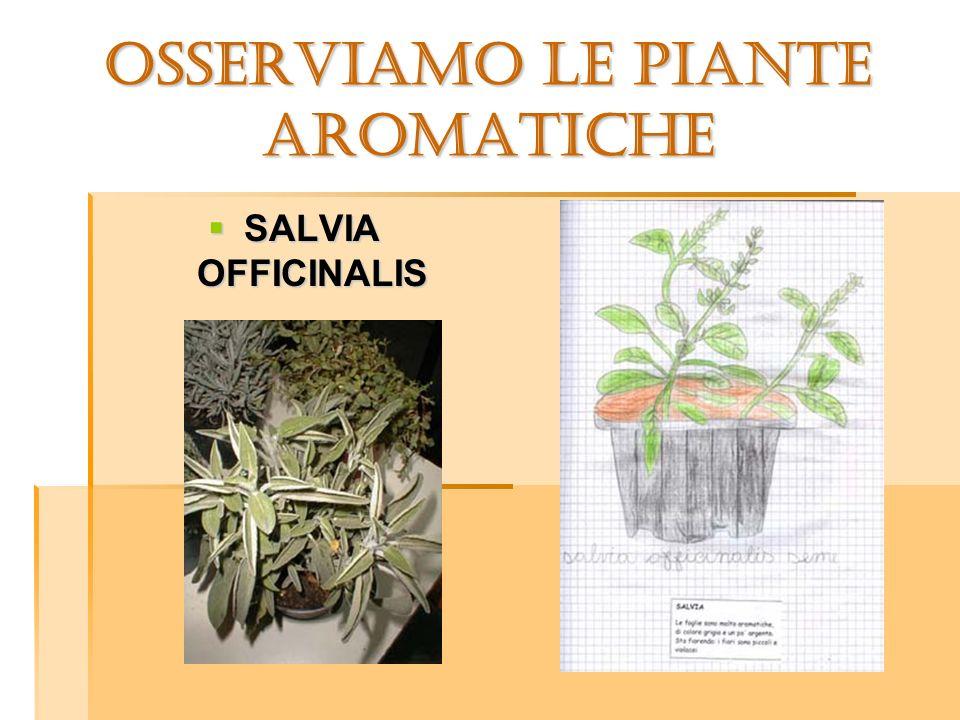 OSSERVIAMO LE PIANTE aromatiche SALVIA OFFICINALIS SALVIA OFFICINALIS