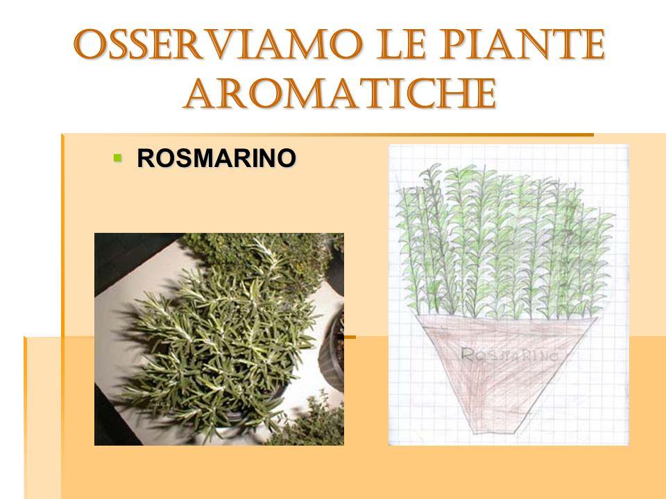 OSSERVIAMO LE PIANTE aromatiche ROSMARINO ROSMARINO