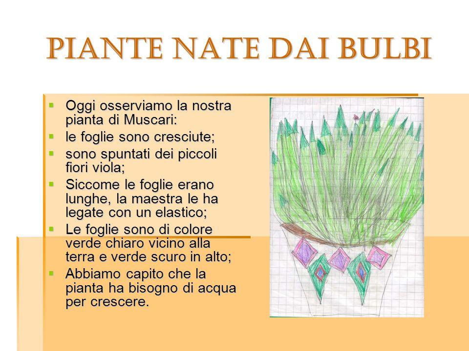 Oggi osserviamo la nostra pianta di Muscari: Oggi osserviamo la nostra pianta di Muscari: le foglie sono cresciute; le foglie sono cresciute; sono spu