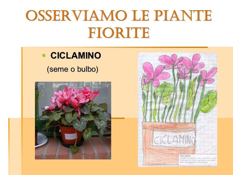 OSSERVIAMO LE PIANTE FIORITE CICLAMINO CICLAMINO (seme o bulbo) (seme o bulbo)