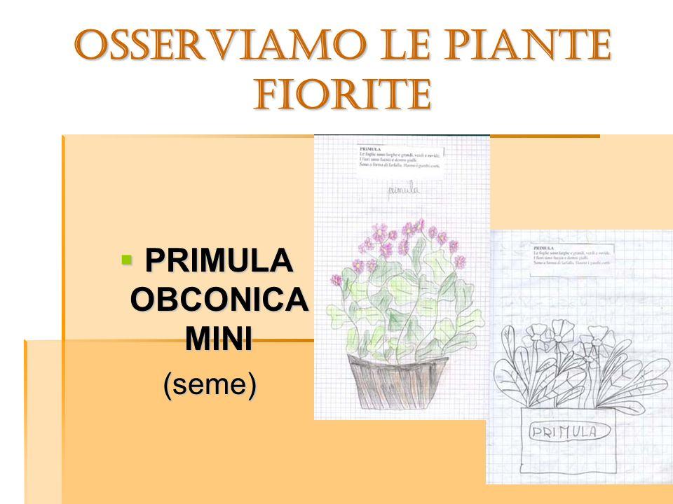 OSSERVIAMO LE PIANTE FIORITE PRIMULA OBCONICA MINI PRIMULA OBCONICA MINI (seme) (seme)