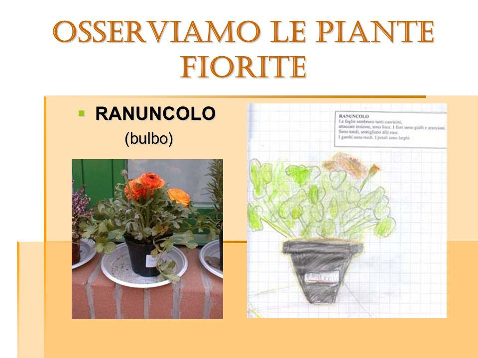 OSSERVIAMO LE PIANTE FIORITE RANUNCOLO RANUNCOLO (bulbo) (bulbo)