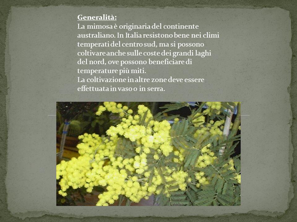 Generalità: La mimosa è originaria del continente australiano.